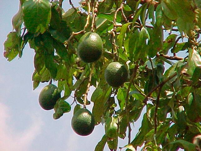 Фото авокадо