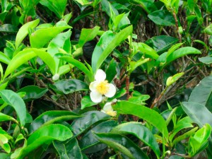 Чай (растение) или камелия китайская, фото