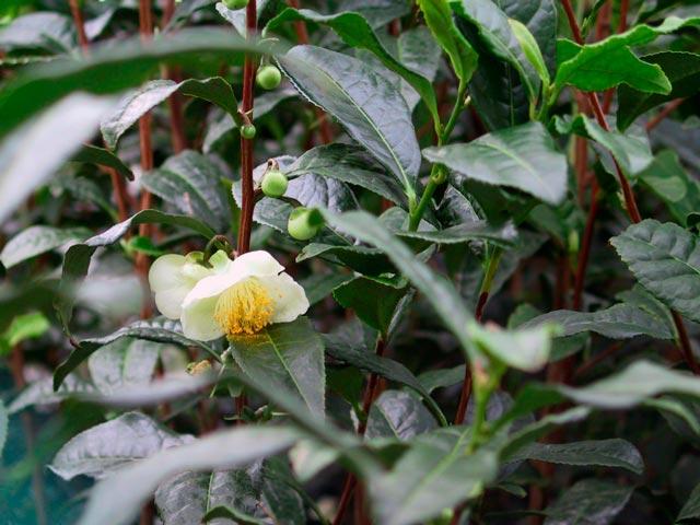 растение камелия