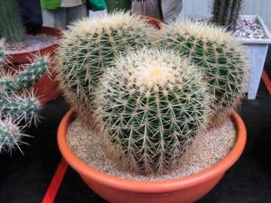 Домашние цветущие кактусы описание и размножение, фото