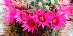 Домашние цветущие кактусы размножение, фото