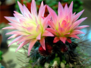 цветушие кактусы в домашних условиях, фото