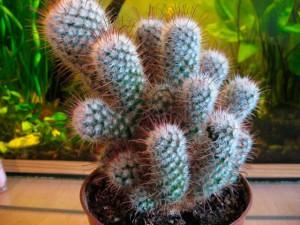 кактусы в домашних условиях, фото