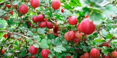 Крыжовник описание, выращивание и фото