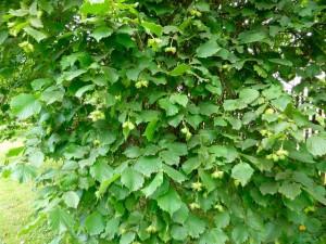 растение орех лещина обыкновенная сорта и фото