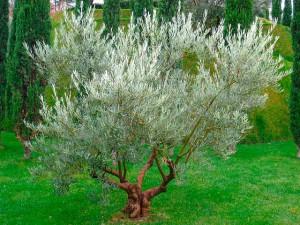 Маслины и оливки описание и фото
