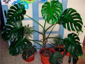 Цветок монстера уход и выращивение в домашних условиях, фото