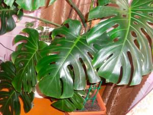 Комнатное растение монстера уход и выращивение в домашних условиях, фото