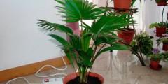 Пальма выращивание в домашних условиях, описание, фото