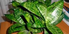 цветок сансевиерия уход и выращивание в домашних условиях, фото