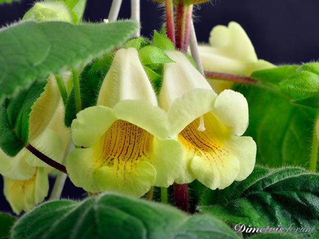 Комнатный цветок глоксиния уход и посадка