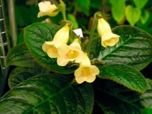 Цветок глоксиния (синнингия) уход и размножение, фото