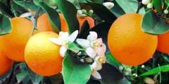 Апельсин сорта, описание, свойства, фото