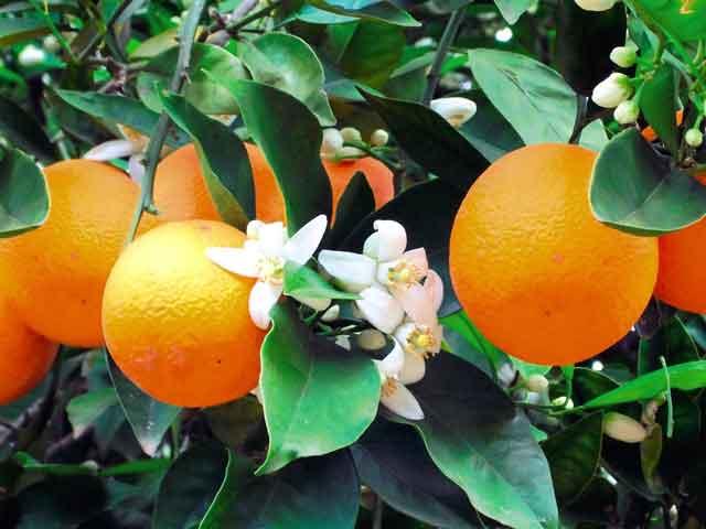 Фото крупных плодов апельсина оранжевого цвета