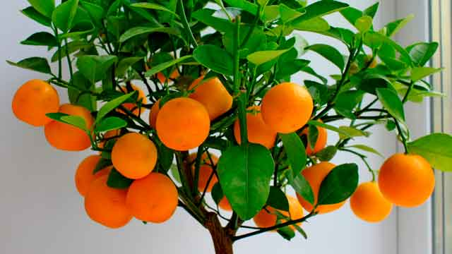 Апельсин фото в домашних условиях