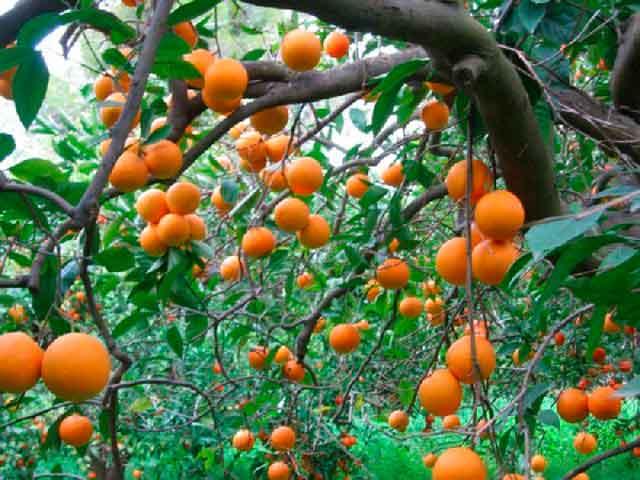 Фото дерева апельсин с большим количеством плодов оранжевого цвета