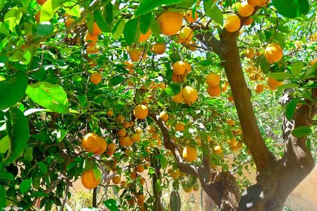 Фото дерева апельсин с плодами