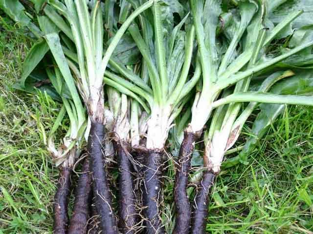 фото брюква овощ