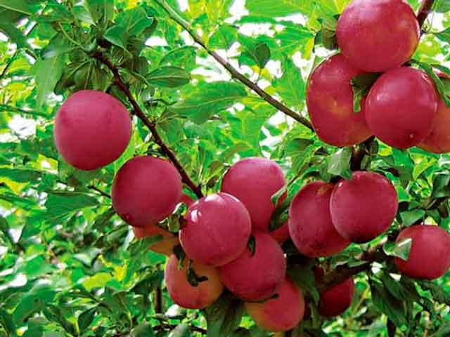 алыча фото плодов розового цвета