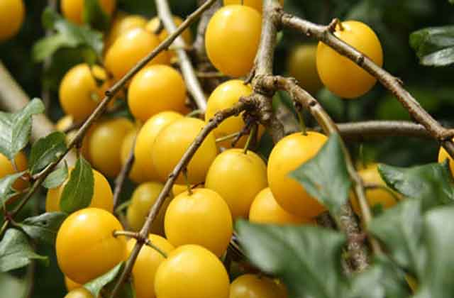 алыча фото желтых плодов
