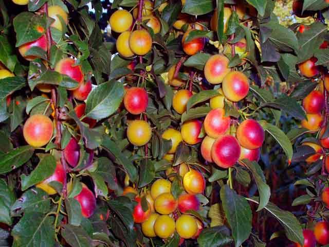 алыча фото множества плодов с румяными боками