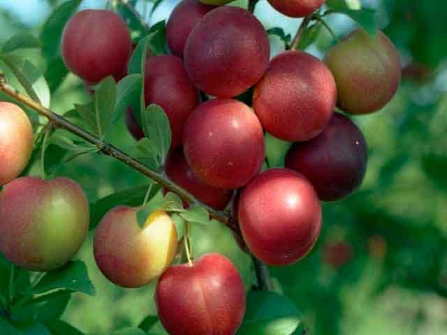 алыча фото ветки с красивыми плодами