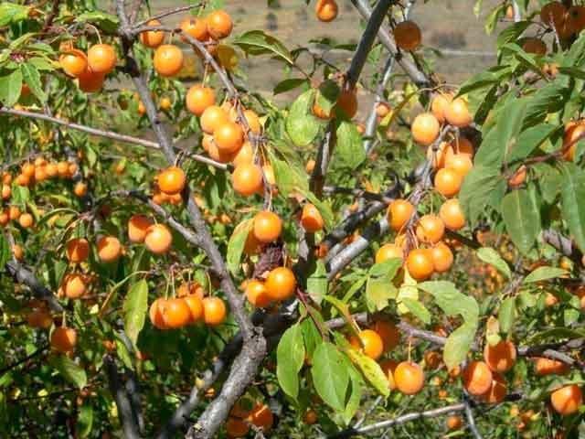 алыча фото дерева с желтыми плодами