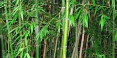 Бамбук описание, размножение, сорта, изделия, фото
