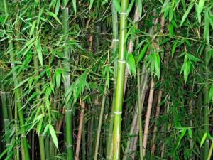заросли бамбука фото