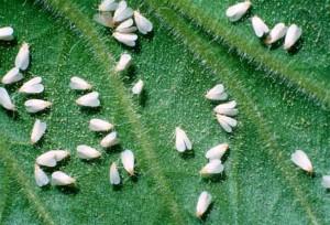 Белокрылка вредитель капусты. фото