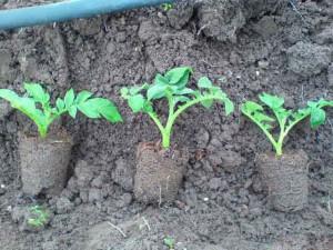 размножение картофеля черенками фото