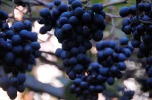 сорт винограда Чхавери
