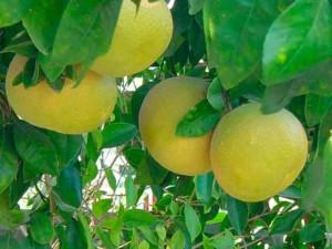 Грейпфрут свойства и применение фото