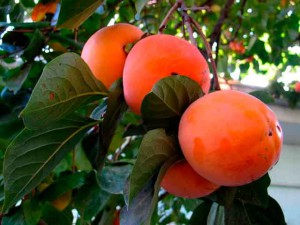 Фото больших и красивых плодов хурмы