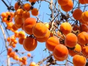 Фото плодов хурмы на ветке