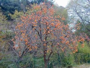 Фото большого дерева хурмы, сплошь увешанного оранжевыми плодами
