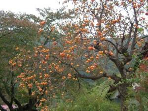 Фото дерева хурмы увешанное созревшими плодами