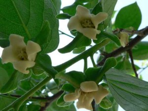 Цветение дерева хурмы весной