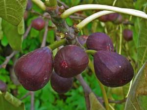Фото созревших плодов инжира