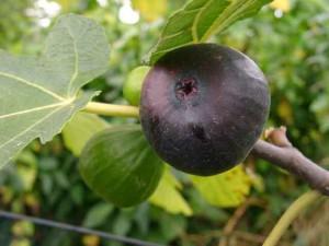 Фото плодов инжира на ветке