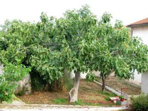 Фото дерева инжир