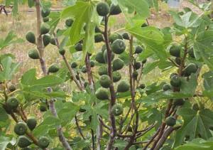 Фото зеленого не созревшего инжира на дереве