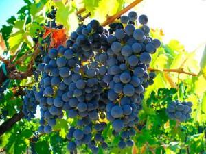 Фото сорта винограда Изабелла