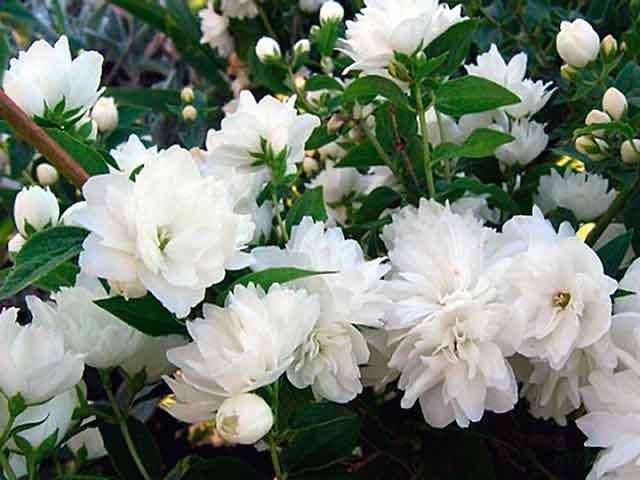 Цветок жасмин - описание, размножение, сорта, фото красивых цветов