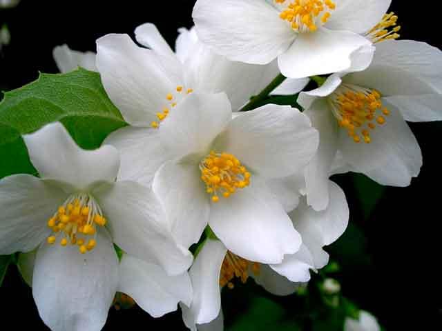 Цветок жасмин - описание, размножение, сорта, фото