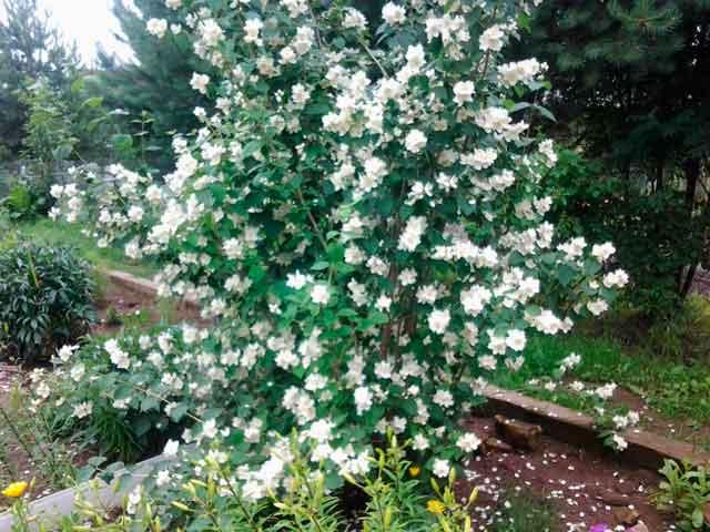 Цветок жасмин - описание, размножение, сорта, фото куста