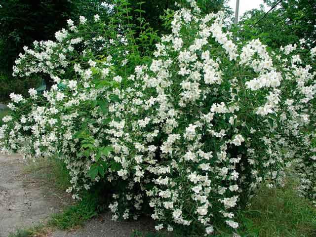 Большой куст жасмина с красивыми белыми цветами