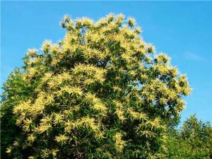 каштан красивое фото цветущего дерева