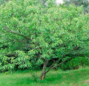 фото молодого дерева каштан