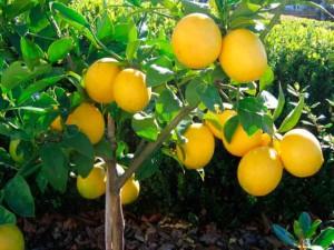 Молодое деревце лимона с красивыми плодами. Фото